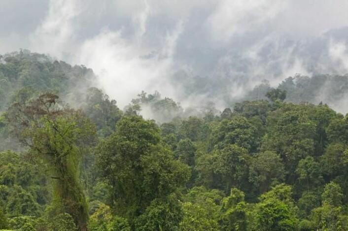 Noen av artene er funnet i dette regnskogsområdet, i Halimun National Park på Java. (Foto: Alexander Riedel)