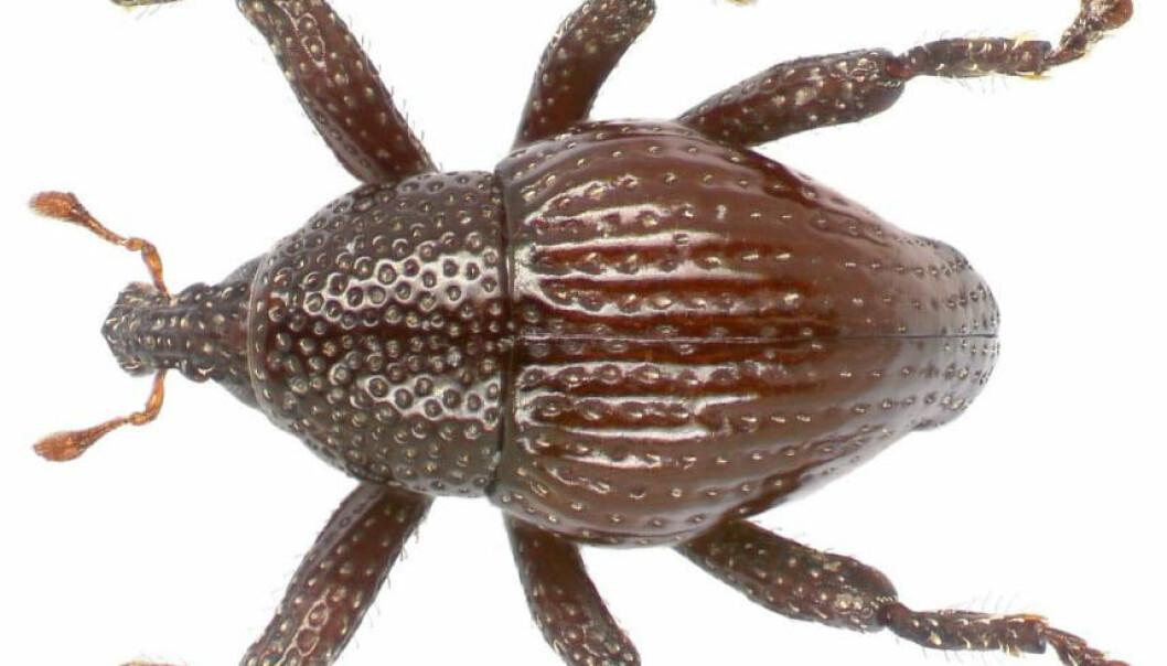 Denne billa ble oppkalt etter Sir David Attenborough, og heter nå Trigonopterus attenboroughi. Men ellers var det en utforsring å finne på gode navn til alle de nyoppdagede artene. Både stedsnavn og de indonesiske tallene fra en til tolv kom til nytte.  (Foto: Alexander Riedel)