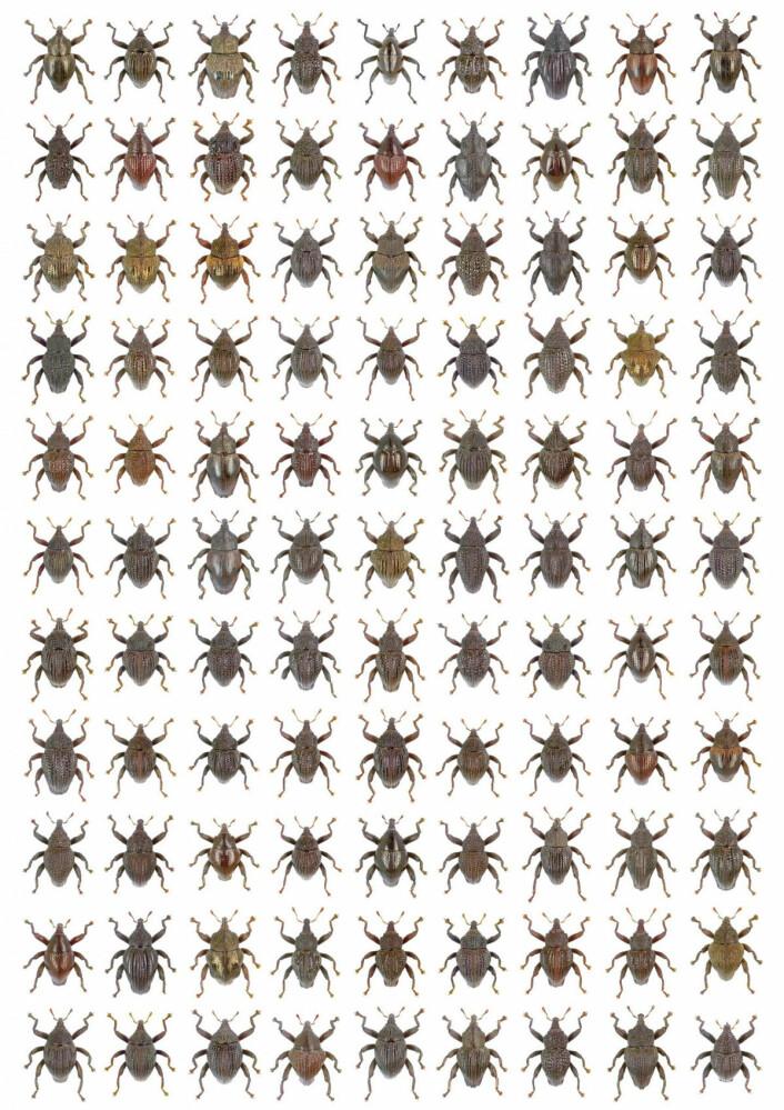 Her er de 98 nye artene av Trigonopterus, i selskap med T. amphoralis (rad 1, plass sju fra venstre), en art som forsvant i 1922. (Foto: Alexander Riedel)