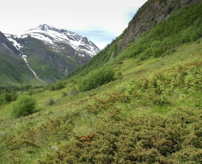 Beiter gror ofte igjen med einer. De spisse nålene er ikke populære blant beitedyr.  (Foto: Per K. Bjørklund, Skog og landskap)