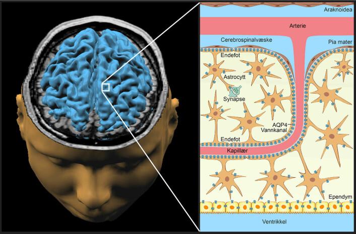 Hjernens nattlige «vaskemaskin» består av en spesiell type gliaceller som kalles astrocytter, fordi de er stjerneformede. Astrocyttene har små vannkanaler (mørkeblått) som pumper overskuddsvæske og avfallsstoffer ut i en hylse som omgir blodårene i hjernen. (Foto: (Illustrasjon: Emblem, Nagelhus og Lothe, UiO))