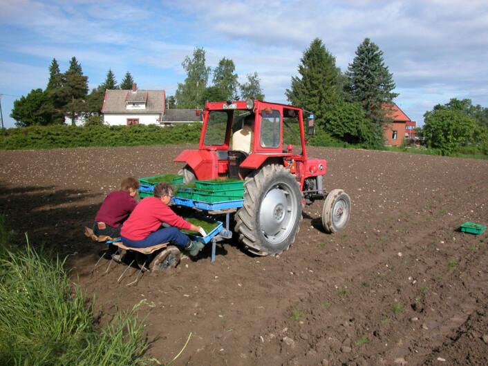 Planting av veksthusoppalede planter på Ås i juni 2003. Det er en praktisk metode når tilgangen på frø er svært begrenset.  (Foto: Helge Oskarsen/Agrokonsult AS)