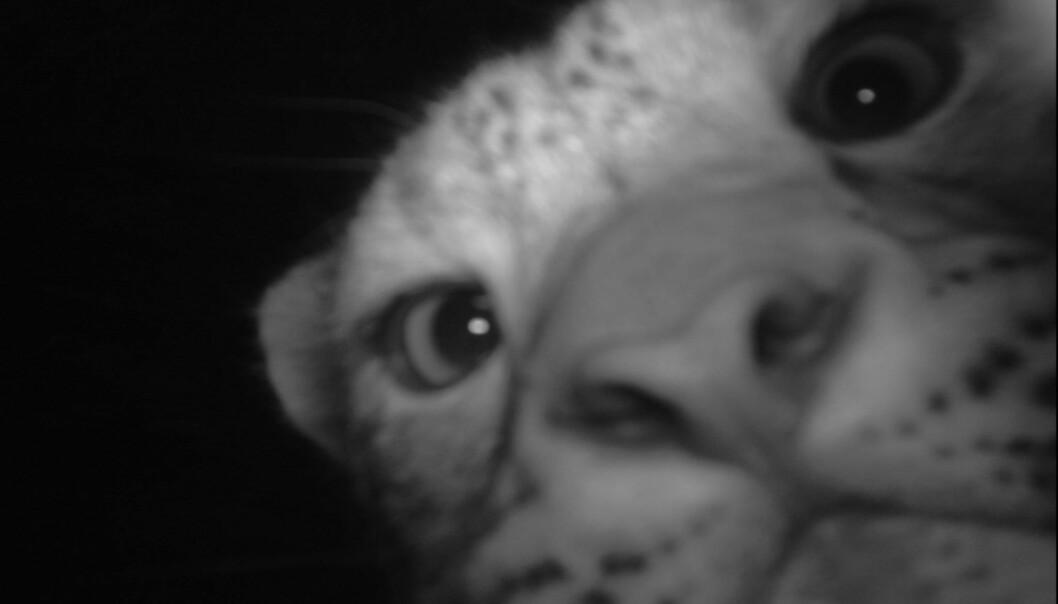 Den sjeldne snøleoparden kikker nysgjerrig inn i det automatiske viltkameraet et sted i Himalaya. Ny og rimelig teknologi åpner muligheter for viltforskere.  Forskningsprosjektet