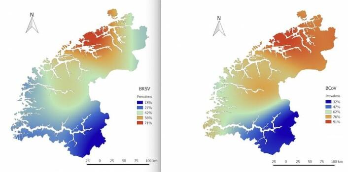 BRSV-viruset (til venstre) og BCoV-viruset (til høyre) er langt mer vanlig på gårder i Møre og Romsdal enn i Sogn og Fjordane. (Foto: (Kart: Ingrid Toftaker, Institutt for produksjonsdyrmedisin, NMBU))