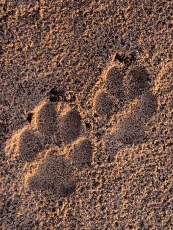 Bilde av ulvespor fra Tyskland. Ulvenes dramatiske utvidelse av leveområder i Tysland er blant de mest fremtredende eksemplene på hvordan de store rovdyrene har kommet tilbake i Europa. (Foto: John Linnell, Norsk institutt for naturforskning)