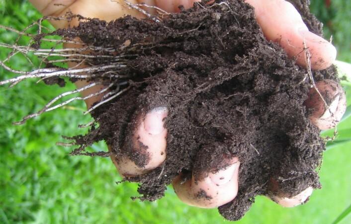Humus binder plantenæringsstoffer i jorda som ellers ville være utsatt for utvasking. (Foto: Reidun Pommerche, Bioforsk)