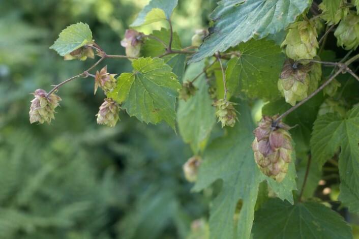 Humle er mest kjent fordi den siden middelalderen i Europa er blitt brukt til ølbrygging, hvor den bidrar med bitterhet og aroma til ølet. Stoffer i humlen kan også gjøre ølet mer holdbart.  (Foto: Scanpix, Bjørn Rørslett)