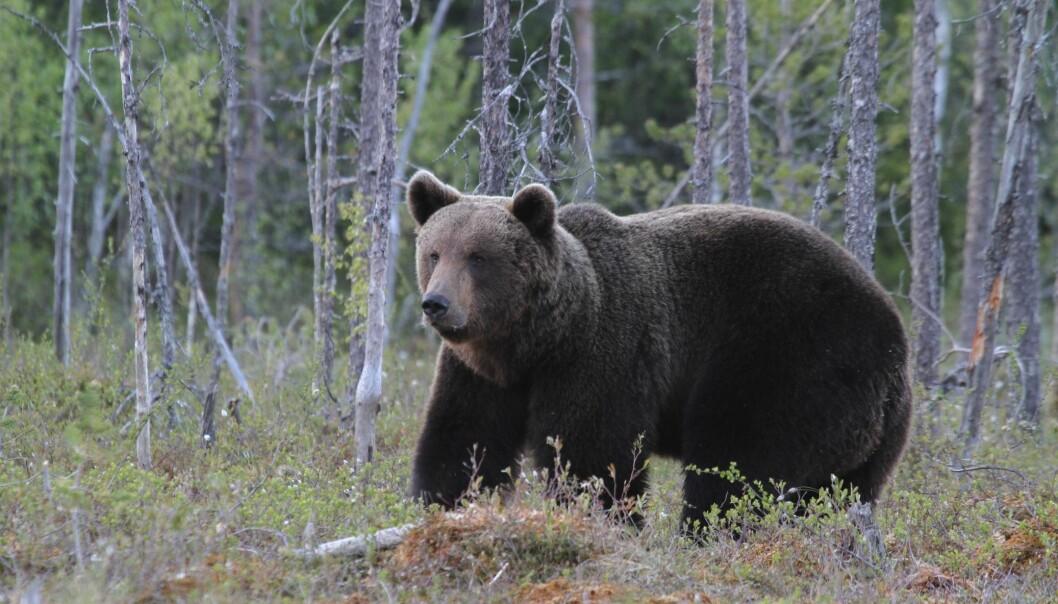Brunbjørn i Finland. I dag lever 17 000 bjørner i ti forskjellige populasjoner i Europa. (Foto: Jan Ove Gjershaug, Norsk institutt for naturforskning)