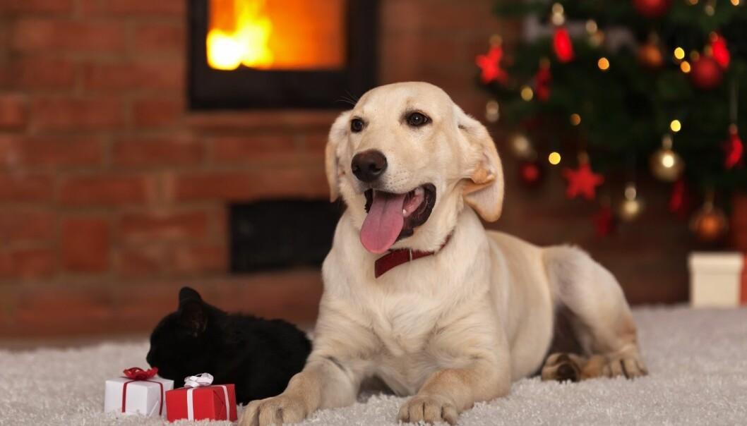 Å sette dyr i en forventningstilstand er bra for dem, og fungerer på samme måte som når vi rigger til med juleverksted og juleforberedelser for barna i adventstiden.  (Foto: Microstock)