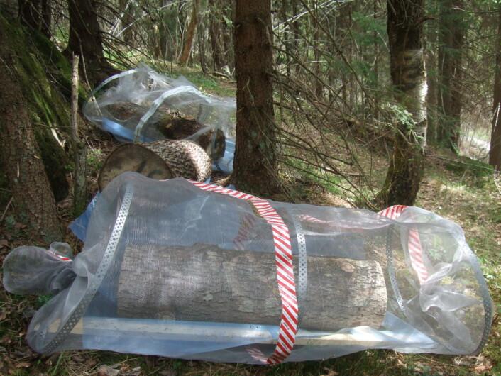 Her er ospestokkar pakka inn i netting for å stengje ute haikande sopp på insekt. (Foto: Rannveig M. Jacobsen)