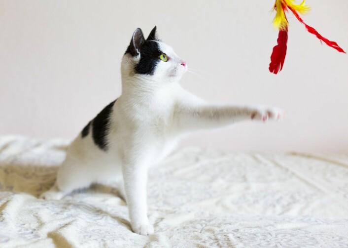 – Hvis en katt har en favorittleke, kan du gi signal om at dere skal leke, men ikke akkurat nå. Signalet kan være et lydsignal eller fakter som katten alltid assosierer med å få godet, forteller Bjarne Braastad.  (Foto: Microstock)