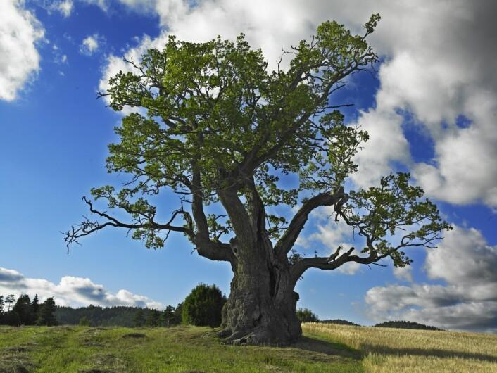 Hule eiker i Norge er vanligvis mellom 200 og 500 år gamle. Mollestadeika i Birkenes kommune i Aust-Agder er mer enn 1000 år gammel eik. Den er 3,5 meter tykk og dermed Norges 3. tykkeste eik. Omkretsen er 10,5 meter. Noen av de største eikene finner vi på solrike plasser ute i kulturlandskapet. Det er viktig å ta vare på disse gamle kjempene. Ellers mister vi dem – og livet som finnes inni trærne.  (Foto: Steinar Myhr, NN/Samfoto)