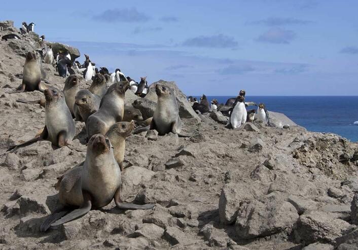 Øya er bebodd av omlag 70. 000 pelssel.  (Foto: Bjørn Frode Amundsen, Norsk Polarinstitutt)