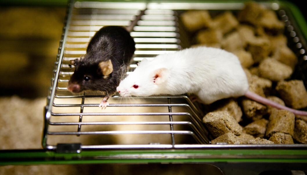 Laboratoriemus er blitt mer intelligente etter at forskere sprøytet hjerneceller fra menneskefostre inn i hodene deres. Det gir ny kunnskap ulike typer hjerneceller.  (Foto: Science Photo Library)