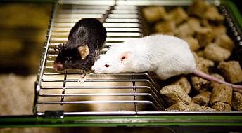 Mus ble mer intelligente med hjerneceller fra mennesker
