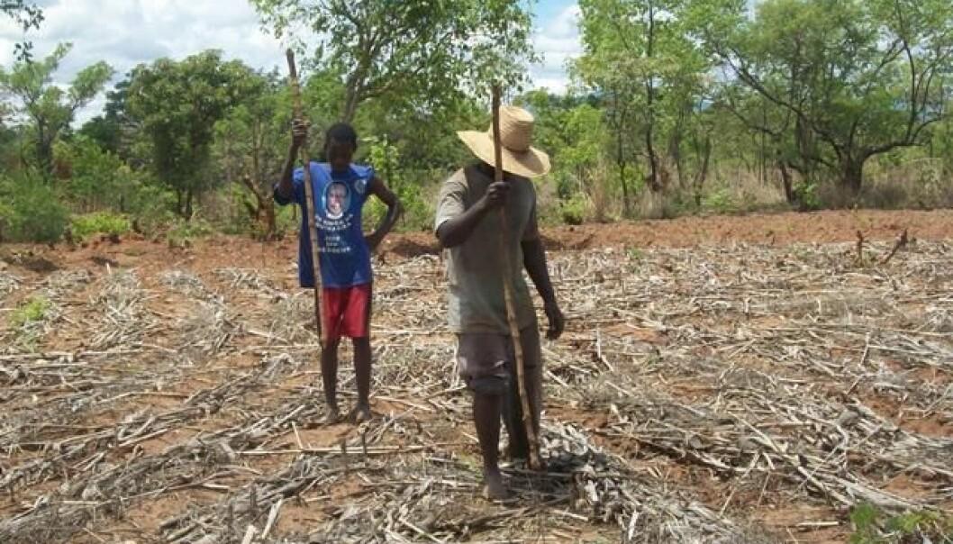 Slik ser det ut når bøndene i Malawi tar i bruk den nye metoden. Istedet for å pløye jorden, stikker de hull på jorden for å så. Bakken dekkes med hamp og planterester som beskyttelse.  (Foto: Amos Ngwira)
