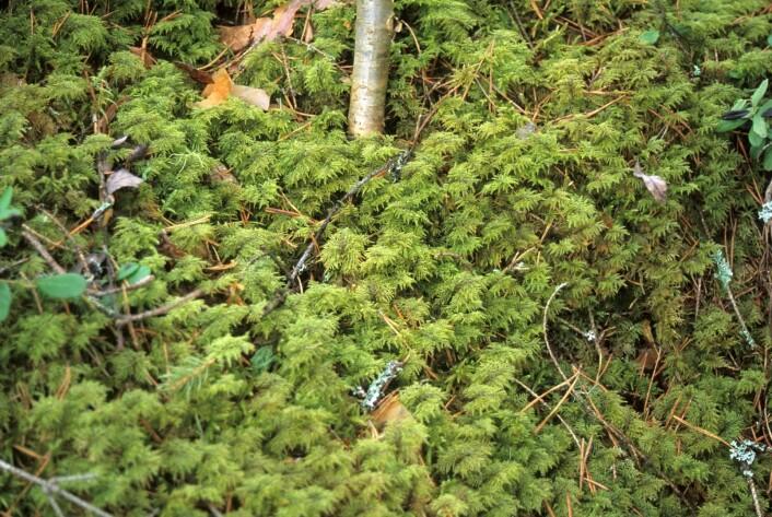 Etasjemose (<em>Hylocomium splendens</em>) danner tepper på bakken og er spesielt utbredt i blåbærrike barskogen. Den er vanlig i hele landet. (Foto: John Yngvar Larsson, Skog og landskap)