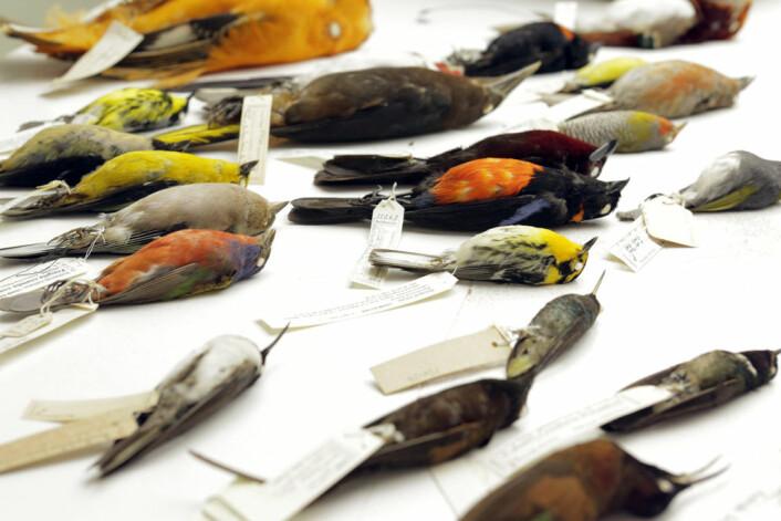Forskerne kartla genomene til arter fra alle hovedgruppene av fugler.  (Foto: AAAS/Carla Schaffer)