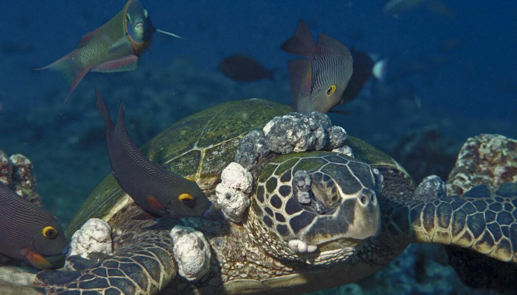Forskerne vet at herpesvirus er en av årsakene til at havskilpadder utvikler svulster. En ny studie viser at mange friske havskilpadder bærer herpesviruset latent. (Foto: Peter Bennett & Ursula Keuper-Bennett, Wikimedia Commons)