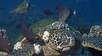 Mange havskilpadder har herpes