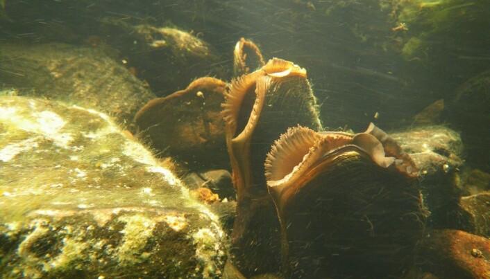 En voksen elvemusling kan rense 50 liter med vann i døgnet. Det bidrar til å opprettholde god vannkvalitet i vassdraget. (Foto: Bjørn Mejdell Larsen, NINA)