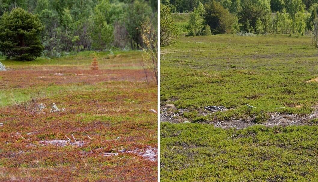 Til venstre: Kreklinghei i Storfjord kommune, brun etter skadene som oppstod i 2012. Legg merke til at furua i øvre del av bildet også er visnet og blitt brun. Til høyre: Samme hei i 2014. Heia ser mye grønnere ut, men de grå partiene er tallrike. (Foto: Jarle W. Bjerke)