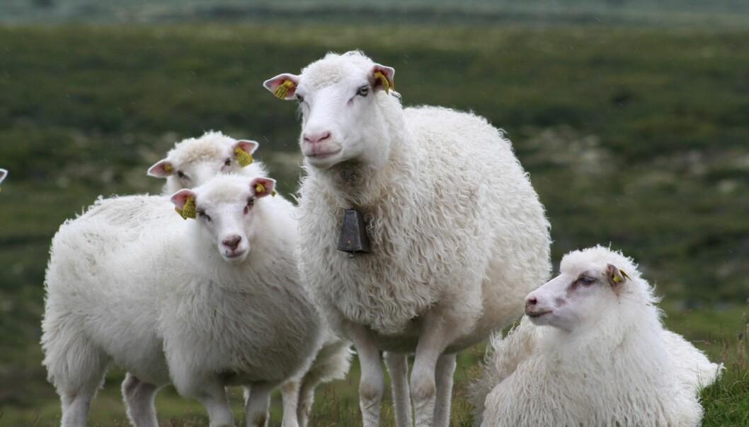 Det er påfallende stor regional samvariasjon i lammevektene. Et godt eller dårlig beiteår slår likt ut på lammevektene over store områder. (Foto: Janne Karin Brodin)
