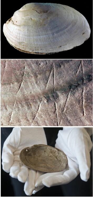 Det inngraverte motivet ble rett og slett funnet ved en tilfeldighet, da en marinbiologistudent skulle studere de fossile skjellene. (Foto: PACEA)