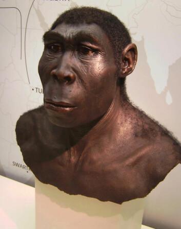 Homo erectus - det oppreiste mennesket - er et utdødd fortidsmenneske. Det døde ut for rundt 250 000 år siden. Arten oppstod i Afrika og spredte seg til Kina og Java i Indonesia.  (Foto: UiB)