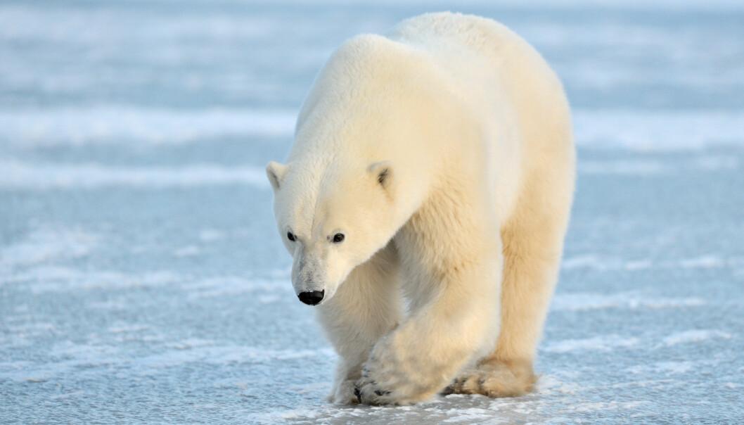 Isbjørnene befinner seg på toppen av næringskjeden. Derfor akkumulerer de store mengder kvikksølv. Nå viser ny forskning at bakterier nøytraliserer en del av dette kvikksølvet.  (Foto: Microstock)