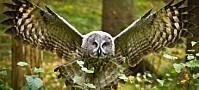 Ukas art: Lappugle - en sjelden gjest i norske skoger