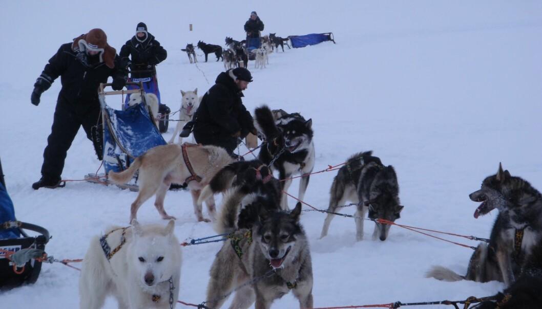 Hundekjøring på Svalbard kan skape gåsehud av flere grunner enn kulda. (Foto: Ann Heidi Hansen)