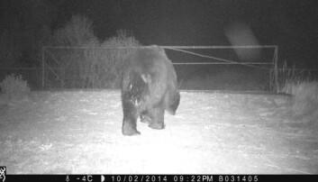 Det tok noen år, men nå er brunbjørnen tilbake i området rundt Tsjernobyl. (Foto: SergeyGashchak, Chornobyl center, Ukraine)