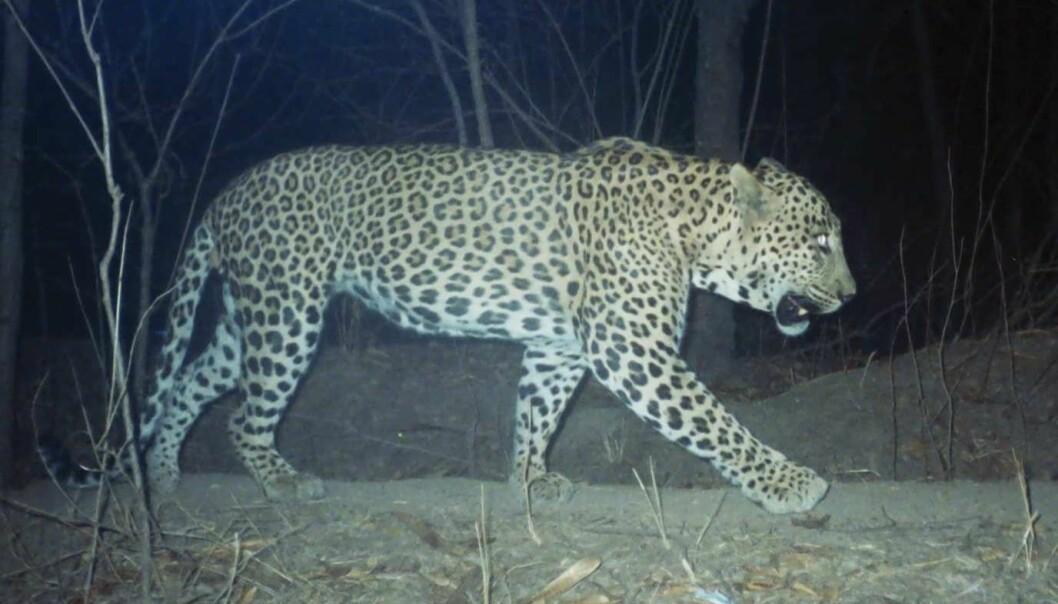 Leoparden sover om dagen og er aktiv om natten. Hvis mennesker tilpasser seg leopardens døgnsyklus, er det mulig for dem å bo tett sammen, viser et samarbeidsprosjekt mellom norske og indiske forskere.  (Foto: Vidya Athreya)