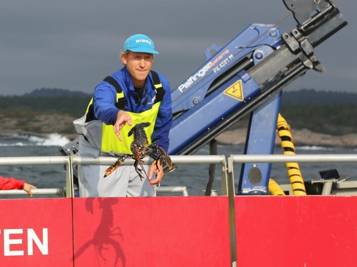 Alle hummerne går tilbake i sjøen der de ble fanget. Forsker Alf Ring Kleiven hjelper til. (Foto: Espen Bierud)