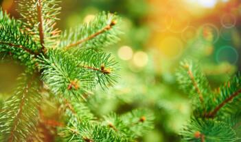 Kongleinsekter – nye trusler for skogens arvesølv?