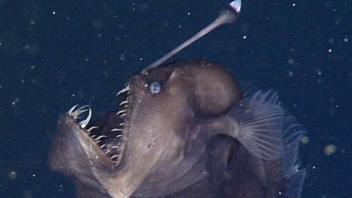 Forskerne var ute med en miniubåt i Monterey Bay da de fikk øye på den rare skapningen. Selv om den ser stor og skummel ut var denne kun 9 centimeter lang. (Foto: Monterey Bay Aquarium Research Institute)