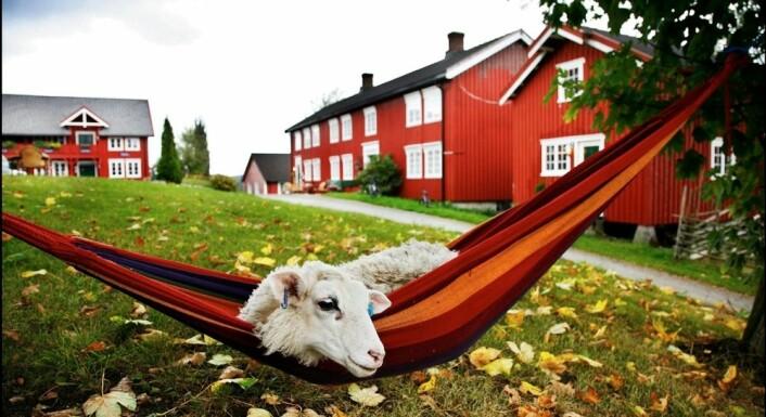 På Berg gård på Inderøy kan turister oppleve hvor maten kommer fra. Her ales, etes og slaktes lam. Norge bør satse mer på denne type turisme og orientere oss mer mot markeder nær oss, mener reiselivsforskere. Foto: Magnar Kirknes, Scanpix)