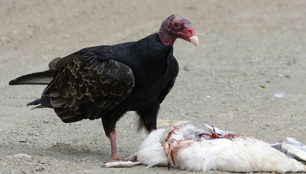En kalkunkondor spiser en død måke.  (Foto: Kevin Cole, tilgjengeliggjort av Wikimedia Commons)