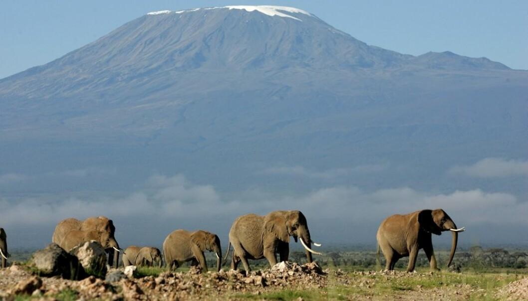 Opplevelsen av å se ville elefanter ved foten av Kilimanjaro i Kenya er utvilsomt en gåsehudsopplevelse av de helt store. Stadig flere reiser til eksotiske reisemål. Men menneskenes fotavtrykk ved slike reiser er store, mener forskere. (Foto: Karel Prinsloo/Scanpix)