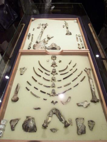 Nå ligger skjelettet til Lucy på utstilling i Ethiopian National Museum i Addis Abeba. Det kom nylig 'hjem' etter å ha vært på en seks års lang utstillingstur i USA. (Foto: Antony Njuguna, Reuters, NTB scanpix)