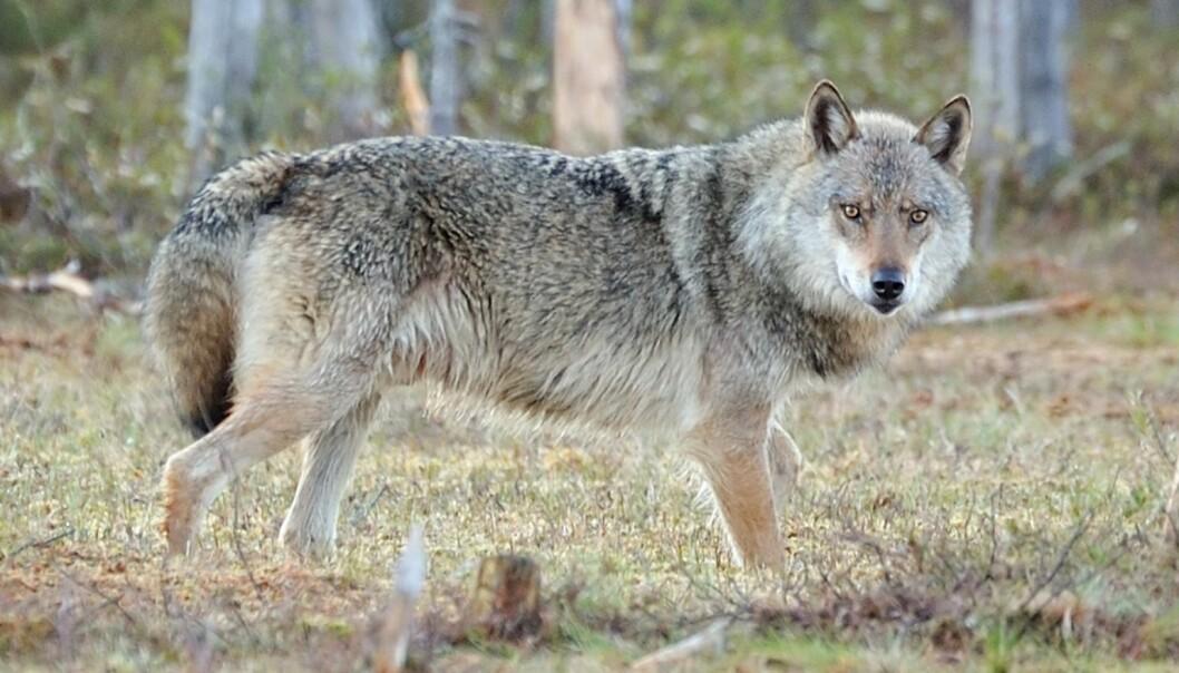 Når snøen legger seg, blir det lettere å spore ulven. (Foto: Kjetil Schjølberg, Rovdata)