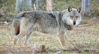 Har påvist ulvekull i Julussa i Hedmark
