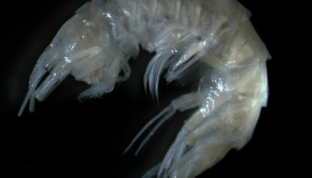 Et nytt krepsdyr er funnet langs norskekysten. Den nye arten er rundt én cm lang og ser ut til å trives i vann under 0 grader og på dyp fra 1000 til 2600 meter. (Foto: Halldis Ringvold, Sea Snack Norway)