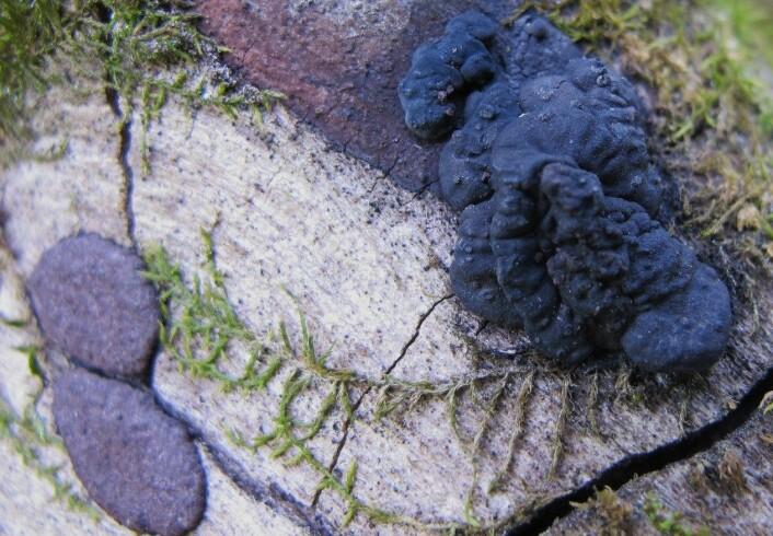 Den nyoppdagede soppen vokser kun på den rødlistete Almekullsoppen. (Foto: Björn Nordén, NINA)