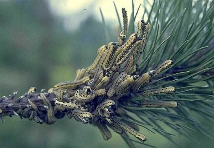 Larvene til vanlig furubarveps kan ta livet av furu fordi de spiser på furunålene utover sensommeren og høsten.  (Foto: Skog og landskap)
