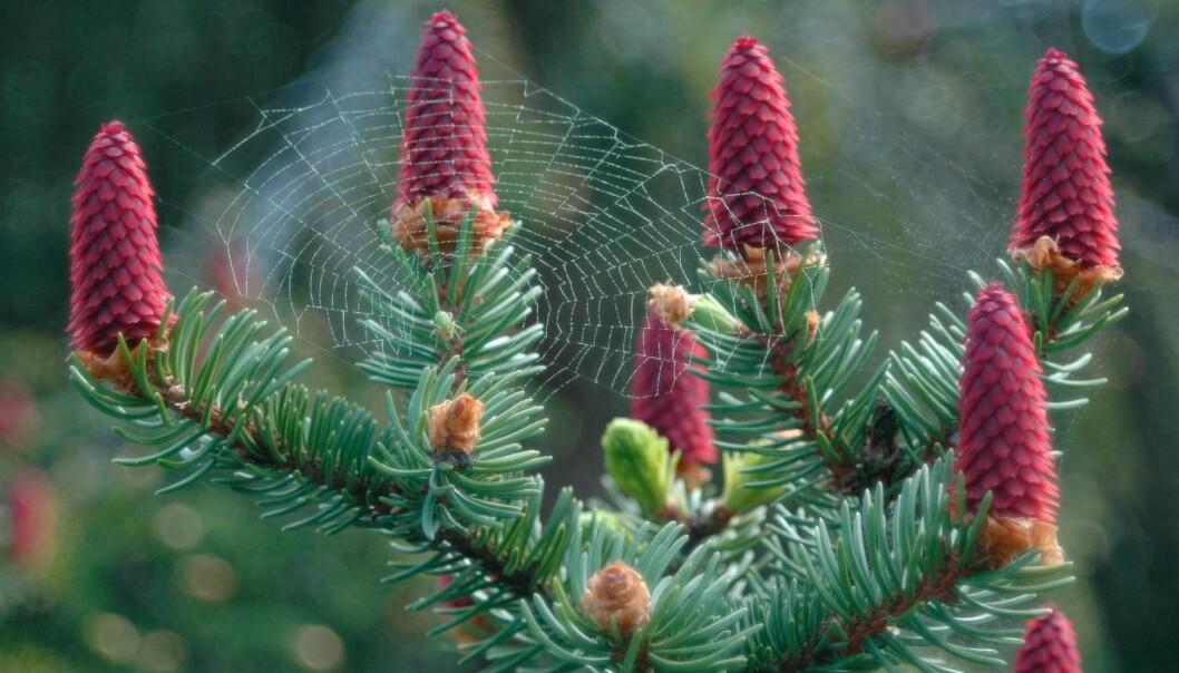 På grana er hann- og hunnblomster på samme tre. Her har en edderkopp spunnet sitt nett mellom de røde hunnblomstene, og det er pollen i edderkoppnettet. (Foto: Øyvind Meland Edvardsen, Skogfrøverket)