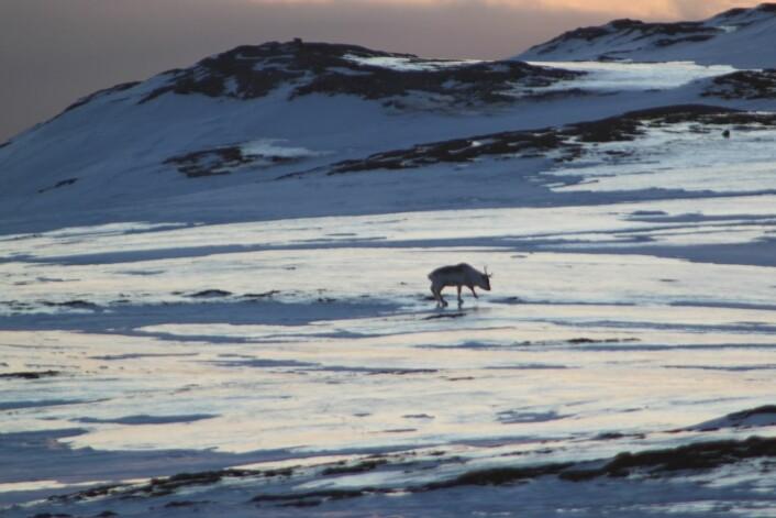 Islaget på tundraen ble mer enn 15 centimeter tykt i enkelte områder. Det dekket tundraen lenge etter at ekstremværet var over.  (Foto: Brage Bremset Hansen)