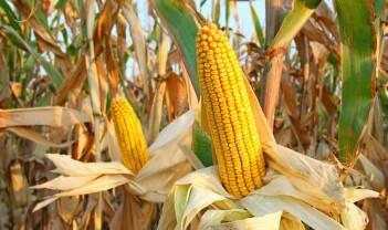 Bør egentlig GM-planter reguleres strengere enn andre planter?