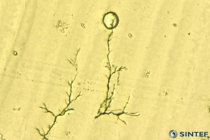 Slik ser et elektriske tre ut under mikroskop.  (Foto: SINTEF Energi)